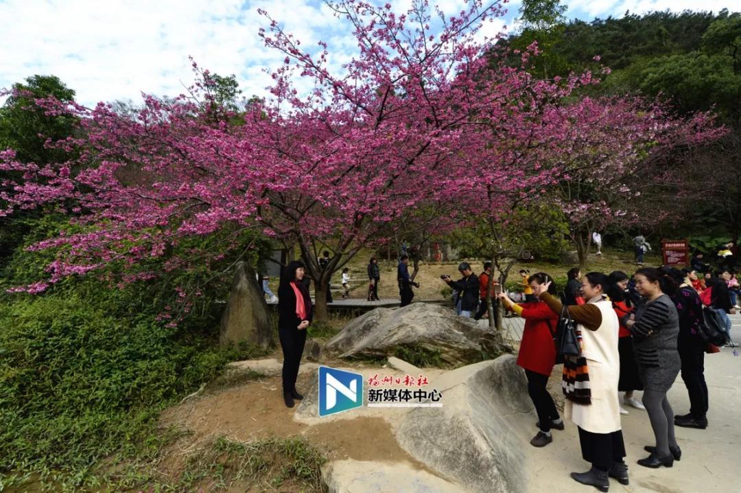 晋安国家森林公园樱花盛开